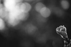 Single hibiscus flower in black and white Stock Photography