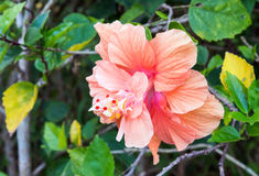 Single hibiscus flower Royalty Free Stock Image