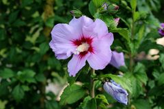 Single Hibiscus syriacus or Rose of Sharon flowering plant with blooming violet and dark red trumpet shaped flower. Single Hibiscus syriacus or Rose of Sharon or Royalty Free Stock Photos