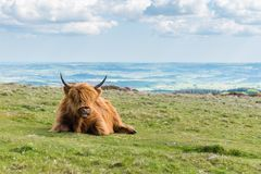 A single Highland Cattle sitting on grass on the top of a hill in Dartmoor National Park, Devon, UK stock photography