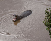 Single hippo partially submerged with mouth wide open in a river Royalty Free Stock Photos