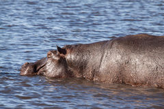 Single Hippopotamus in Hippo Pool of Chobe River, Botswana Stock Photography