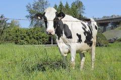 Single Holstein Friesian Cow Royalty Free Stock Photo