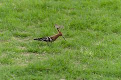 Hoopoe on green grass. Single Hoopoe on lush green grass Royalty Free Stock Photos