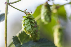 Single Hop Cone. Hop plant close up growing on a Hop farm. Fresh and Ripe Hops ready for harvesting. Beer production ingredient. Brewing concept. Fresh Hop over Royalty Free Stock Images