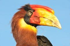 Single hornbill head Royalty Free Stock Photography