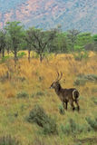 Single Horned Waterbuck Deer on African Safari Stock Photography