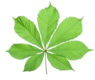 Single horse chestnut leaf Royalty Free Stock Image
