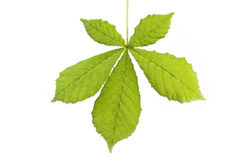 Single horse-chestnut leaf Royalty Free Stock Photo