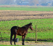 Single Horse Gazing Out Royalty Free Stock Image