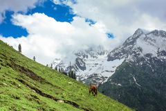 A horse grazing on the golden meadow of Sonamarg. A single horse grazing on the picturesque meadow of Sonamarg with Thajiwas glacier in the background. Kashmir Stock Image