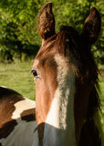 Single Horse in the Sun royalty free stock photography