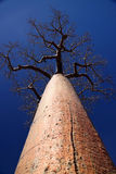 Single huge baobab Royalty Free Stock Photography