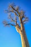 Single huge baobab Royalty Free Stock Photography
