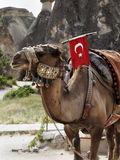 Single hump camel with Turkish flag Stock Photos