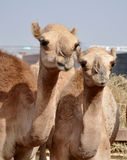 Single hump dromedary Camels. The camel market in Al Ain Royalty Free Stock Image