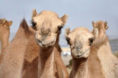 Single hump dromedary Camels. The camel market in Al Ain Stock Image