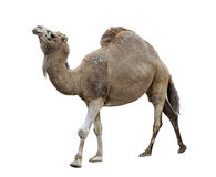 Single-Humped Camel Stock Photo