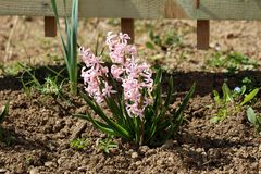 Single Hyacinths or Hyacinthus flowering plant full of small fully open blooming pink flowers growing in one spike or raceme in. Single Hyacinths or Hyacinthus stock image