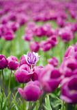 Single hybrid tulip within field of purple flowers Stock Photos