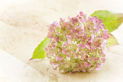 Single Hydrangea flower on grunge background Royalty Free Stock Photography