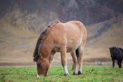Single Icelandic Horse Eating Stock Photo