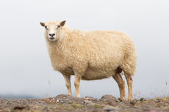 Single Icelandic sheep Royalty Free Stock Photography