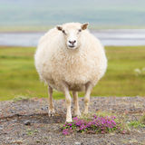 Single Icelandic sheep. In the typical Icelandic scenery Stock Photo