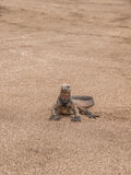 Single Iguana. On sandy beach in Galapagos Islands, Ecuador royalty free stock images