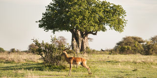 Single impala in Africa Stock Photo