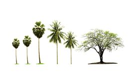 Single Indian jujube tree and palm sugar tree and coconut tree growing up in the countryside isolated on white background. royalty free stock photography