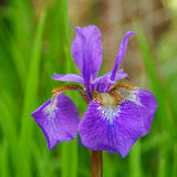Single iris flower with blure background in the garden Royalty Free Stock Photography