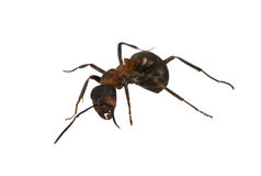 Single isolated ant Stock Photo