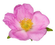 Single isolated bright pink brier flower Stock Photo