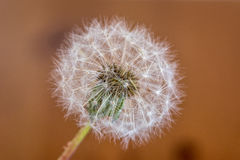 A single isolated dandelion blowball Royalty Free Stock Photo