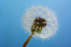 A single isolated dandelion blowball Royalty Free Stock Images