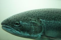 Single isolated Fish - trout - underwater. A single isolated trout FIsh on a fish ladder underwater at a power generation dam stock image