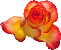 Single isolated gold and red rose illustration Royalty Free Stock Photography