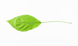Single isolated leaf on a white. Background Stock Images