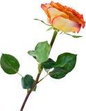 Single isolated orange and red rose illustration Royalty Free Stock Photos