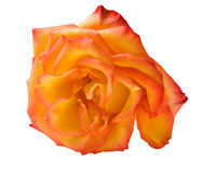 Single isolated orange rose Royalty Free Stock Photography
