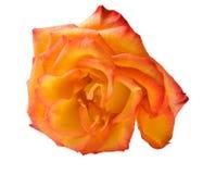 Single isolated orange rose. Single orange rose flower isolated on white background royalty free stock photography
