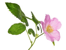 Single isolated pink brier flower with green leaves Royalty Free Stock Image