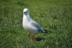 Single seagull Royalty Free Stock Photos