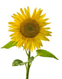 Single isolated sunflower on white Royalty Free Stock Image