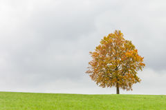Single isolated tree in autumn colors Royalty Free Stock Image