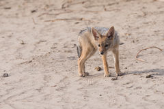 Single Jackal pup portrait. Young Black-backed Jackal pup (Canis mesomelas) looks curiously at camera, Botswana, 2015 Stock Photos