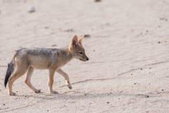 Single Jackal pup profile. Black-backed Jackal pup Canis mesomelas profile, Botswana, 2015 stock photography