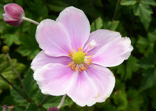 Single Japanese Anemone Royalty Free Stock Photo