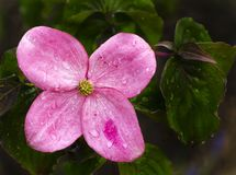 Single Japanese Dog Wood bloom with rain drops. A single, Pink, Japanese Dog Wood bloom with rain drops on it royalty free stock photos